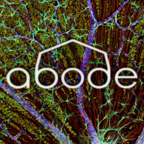 ABODE - Blazing Swan